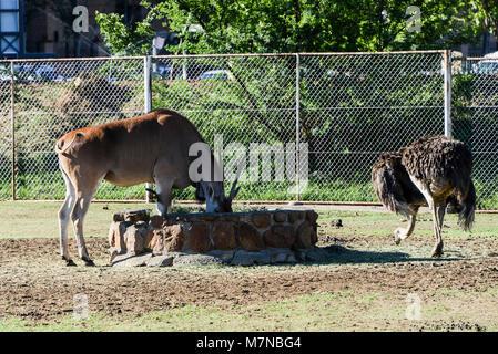 Un éland du Cap (Taurotragus oryx) common ostrich (Struthio camelus) à Bloemfontein zoo Banque D'Images