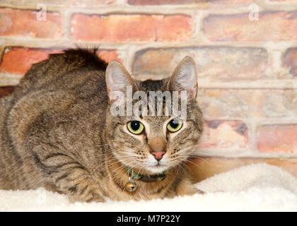 Chat tigré s'accroupit sur la couverture en face d'un mur de brique à directement à spectateur. Le port d'un collier avec Bell. Chasser les petits chats, des proies et les deux fer