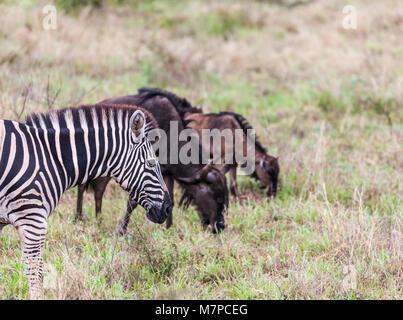 Le zèbre de Burchell, Equus quagga burchellii, bleu et le gnou, Connochaetes taurinus, mère et son petit dans Kruger Banque D'Images