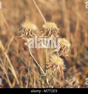 Chardon Sec Plante Avec Fleur Fleur Banque D Images Photo Stock