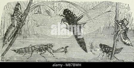 Entomologie économique pour l'agriculteur et producteur de fruits - et pour l'utiliser comme un texte-livre dans les écoles et les collèges agricoles (1906) (14591274290)
