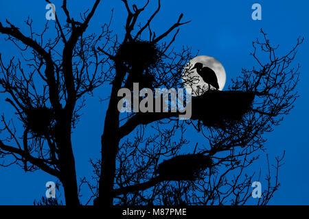 Héron cendré (Ardea cinerea) perché sur son nid dans l'arbre à l'héronnière hérons / silhouetté de nuit avec la Banque D'Images