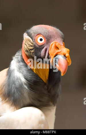 Koningsgier dans dierentuin, vautour pape au zoo Banque D'Images
