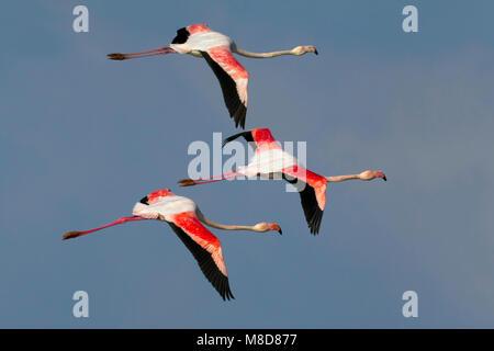 Flamingo's in de viaje en avión; plus grande des flamants roses en vol Banque D'Images