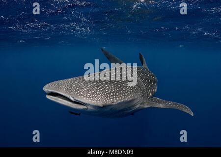 Requin-baleine dans les eaux des Tonga