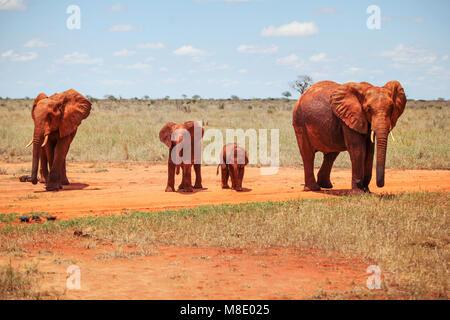Famille de quatre éléphants bush d'Afrique (Loxodonta africana) couverts de poussière et de terre rouge marche sur Banque D'Images
