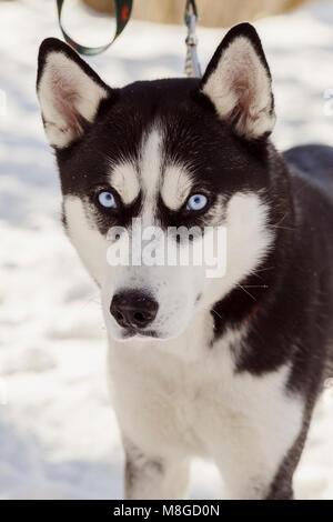 Closeup portrait de grincheux chien husky de Sibérie regardant la caméra Banque D'Images