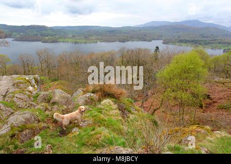 La vue sur Windermere dans le Lake District, Cumbria, Angleterre de l'autre sur le côté est, avec un Golden Retriever Banque D'Images