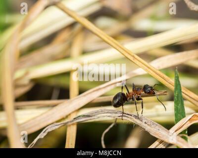 Red ant commun face closeup macro, effectuant un travail de fourmis