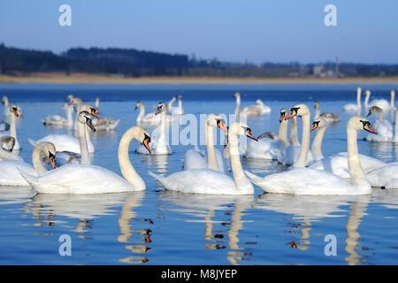 Groupe de cygnes blancs nageant dans l'eau bleue. Cygnus olor Banque D'Images
