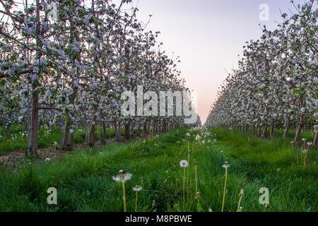 Apple Orchard montrant pommiers en fleurs avec de belles fleurs rouge et blanc Banque D'Images