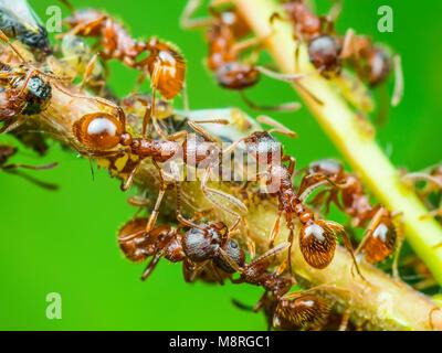 Colonie de pucerons et de fourmis rouges on Twig