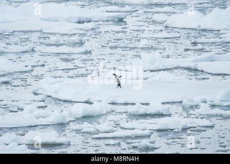Un pingouin Adélie solitaire se dresse au sommet de la banquise dans le Passage français au large des côtes de la Banque D'Images
