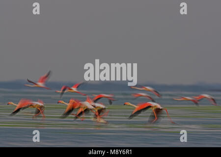 Flamingo dans viaje en avión; flamant rose en vol Banque D'Images