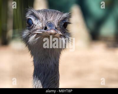 Face à la caméra d'autruche à la tête d'autruche, Close Up Banque D'Images