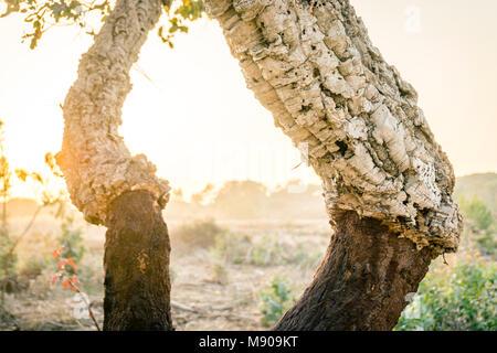 Chêne-liège avec et sans la couche extérieure de l'écorce, qui peut être enlevé sans endommager l'arbre. Banque D'Images