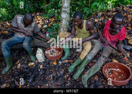Côte d'Ivoire. Les agriculteurs breaking up récoltés les cabosses de cacao. Banque D'Images