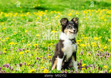 Berger écossais chiot Sheltie se trouve dans un champ d'herbe verte