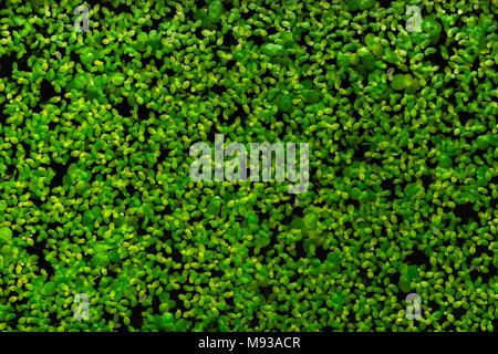 Fond d'algues vertes sur l'eau Banque D'Images