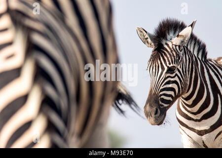 Portrait of young le zèbre de Burchell (Equus quagga burchellii) - Onkolo cacher, Onguma Game Reserve, la Namibie, l'Afrique Banque D'Images
