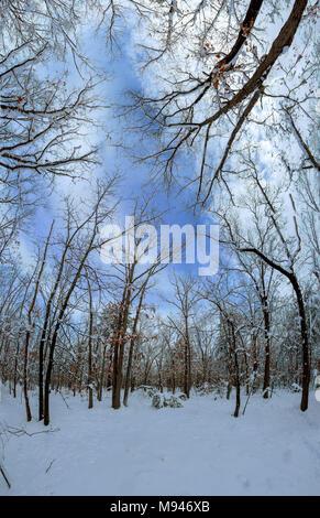 Blanc majestueux sapins allumé par la lumière du soleil. Scène hivernale magnifique et pittoresque. Emplacement Placez le parc national des Carpates, l'Ukraine, l'Europe. Ski alpes