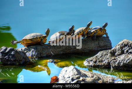 Quatre tortues dans une rangée sur un rocher dans une rivière. Banque D'Images