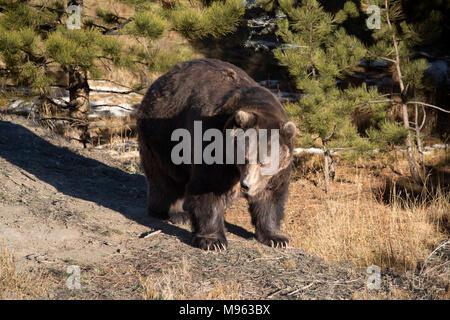 Dans la forêt de l'ours grizzli a également appelé l'ours brun de l'Amérique du Nord en provenance de den au printemps après l'hibernation Banque D'Images