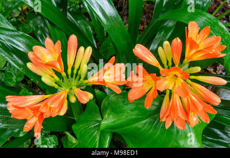 Clivia, Amaryllidaceae, Kaffir Lily, Cypress Garden, Mill Valley, Californie Banque D'Images