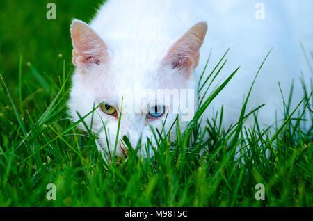 Une maison blanche chat (Felis silvestris catus), avec un œil vert et un œil bleu, regarde à travers l'herbe verte vers l'appareil photo