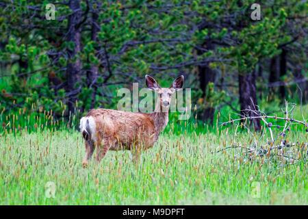 Mule Deer doe 42 897,04055 standing in tall grass printemps faire son manteau d'hiver et vous regarde, les conifères en arrière-plan Banque D'Images