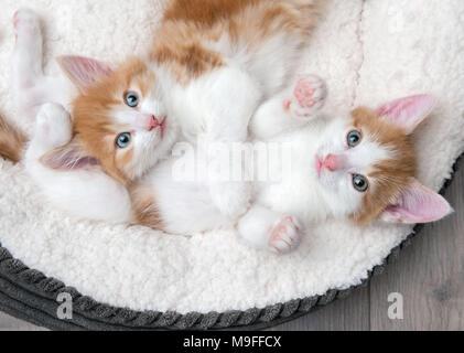 Blue,eyed mignons chatons câlins dans un lit blanc Banque D\u0027Images