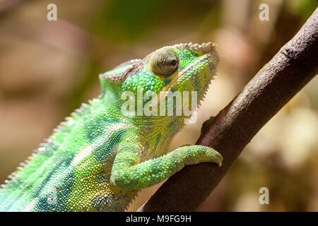 Un caméléon panthère grimpe sur un arbre Banque D'Images