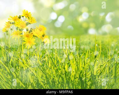 Barbe de chèvre pré-fleurs jaune sur l'arrière-plan flou Banque D'Images