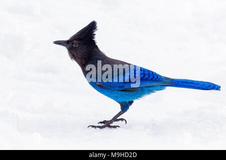 43 160,09789 close-up d'un cormoran à magnifiquement beau bleu et noir Geai de Steller permanent d'oiseaux en hiver neige Banque D'Images