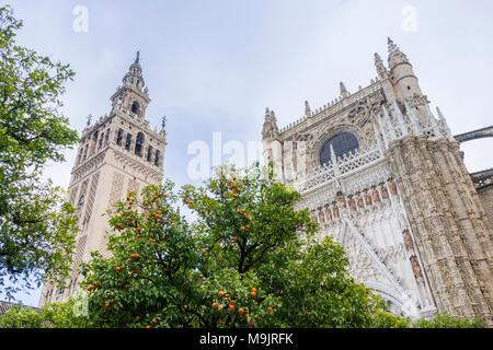 Orangers dans la cour de la Cathédrale de Séville (Catedral de Santa María de la Sede) avec l'impressionnante Giralda à gauche Banque D'Images