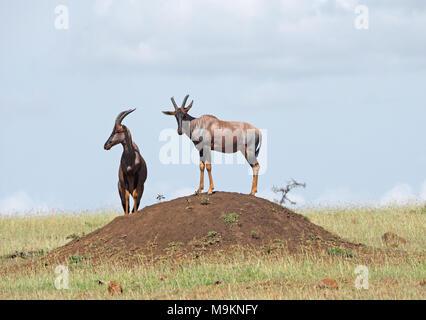 Deux antilopes Topi (Damaliscus lunatus jimela) en mode d'observation typique sur permanent termitière dans le Masai Mara, Kenya, Afrique Banque D'Images