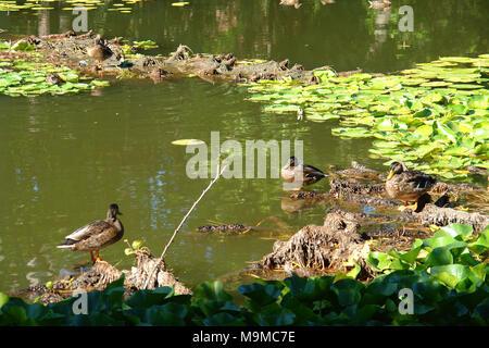 Ducs à l'étang de l'annexe de l'hôtel de ville de Sollies-Pont Banque D'Images