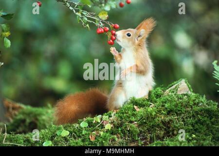 L'Écureuil roux (Sciurus vulgaris) manger des baies d'aubépine. Allemagne Banque D'Images