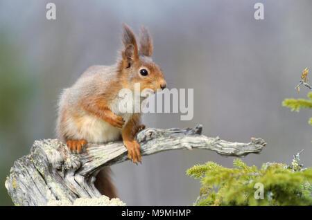 L'Écureuil roux (Sciurus vulgaris). Adulte sur une branche noueuse morts. Allemagne Banque D'Images