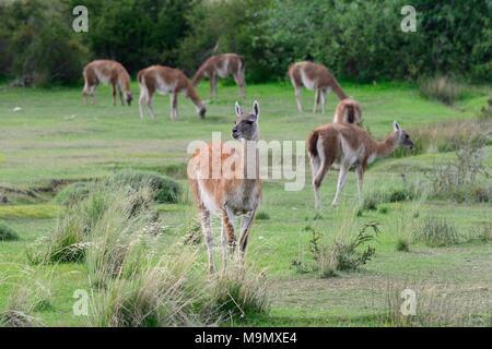 Troupeau de guanacos (Lama guanicoe), Valle Chacabuco, Región de Aysén, Chili