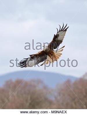Un cerf-volant rouge en vol au-dessus les collines de Dumfriesshire, Ecosse.