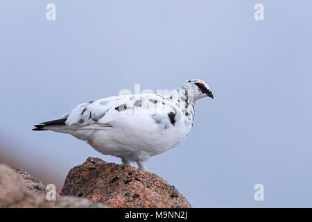 Le lagopède alpin (Lagopus muta / Lagopus mutus), nourriture mâle en plumage d'hiver parmi les rochers, Ecosse, Royaume-Uni