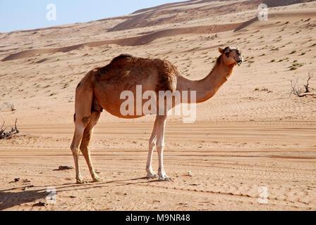 Wahiba Sands, Oman - 15 novembre 2007: un dromadaire sur la piste sablonneuse vers le Wahiba Sands camp dans le désert omanais Banque D'Images