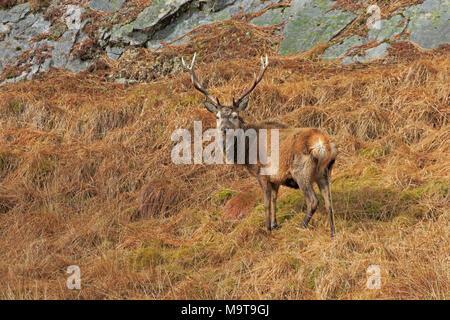 Red Deer Stag sur Jura Hébrides intérieures Banque D'Images