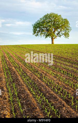 Un champ avec une nouvelle récolte de maïs et d'un noyer. Banque D'Images