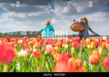 Deux jeunes femmes blondes ramasser des tulipes dans un champ. Yersekendam, province de Zélande, aux Pays-Bas. Banque D'Images