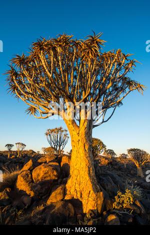 Forêt Quiver Tree (Aloe dichotoma) au coucher du soleil, Ferme Gariganus, Ketmanshoop, Namibie Banque D'Images