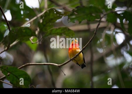 Un Band-tailed Manakin (Pipra fasciicauda) à l'intérieur d'une forêt en Sud Pantanal Banque D'Images