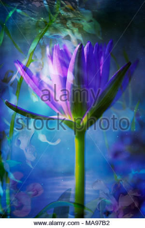 Water Lily abstract background Banque D'Images