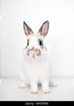 Un mignon jeune lapin nain sur un fond blanc